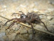 Click to Play Wolf Spider Jigsaw #2